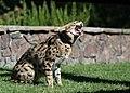 Serval-3.jpg