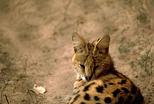 Serval Savannah Cat Uk