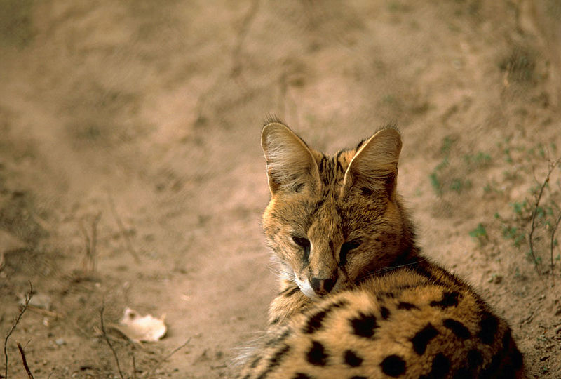 Ficheiro:Serval.jpg