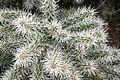 Ses Salines - Botanicactus - Cylindropuntia tunicata 03 ies.jpg