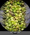 Setaria italica subsp. italica sl36.jpg