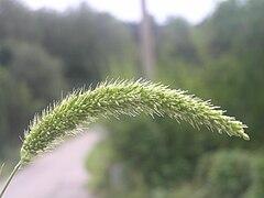 240px setaria viridis