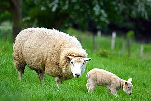 Sheep, Stodmarsh, Kent, England