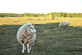 Sheep looking to the right.jpg