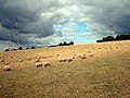 Sheep may safely graze - geograph.org.uk - 51505.jpg
