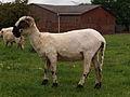 Shorn Valais Blacknose sheep female.jpg