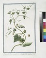 Sicyoides Americana, fructu echinato, foliis angulatis (NYPL b14444147-1124988).tiff