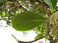 Sideroxylon inerme South African Milkwood leaf IMG 4815.JPG