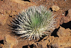Description de l'image Silver Sword -Haleakala Crater-8a.jpg.
