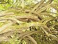 Simeria Dendrological park - weird branches - panoramio.jpg