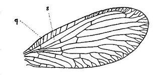 Sisyridae - Forewing venation of Sisyra nigra