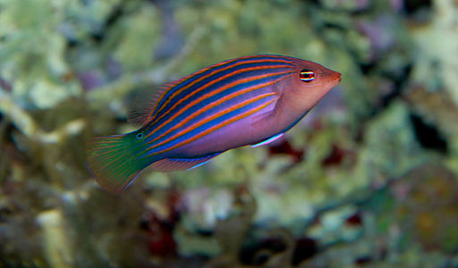 Six Line Wrasse - Pseudocheilinus hexataenia--looks cute now but will cause problems if chosen as a beginner saltwater fish