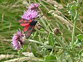 Six Spot Burnet Moth, Dunstanburgh Castle - geograph.org.uk - 121013.jpg