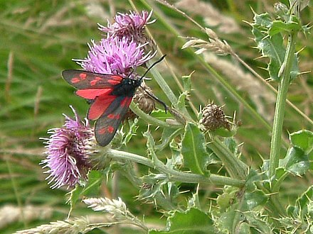 A Six-spot burnet moth, part of the Site of Special Scientific Interest around the castle Six Spot Burnet Moth, Dunstanburgh Castle - geograph.org.uk - 121013.jpg