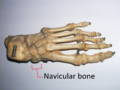 Skeleton foot - Navicular bone.png