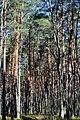 Skulyn Kovelskyi Volynska-Sosnyna-1 nature monument-Pinus sylvestris-1.jpg