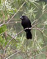 Smooth-billed Ani (Crotophaga ani) - Flickr - Lip Kee.jpg