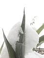 Snow Hugging a Desert Plant (8366328377).jpg