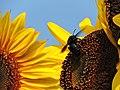 Soaking in sunflower nectar (19554525648).jpg