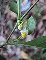 Solanum diphyllum 06.JPG