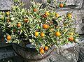 Solanum pseudocapsicum1.jpg