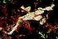Solenostomus halimeda.jpg