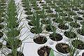 Sonderegger pine seedling.jpg