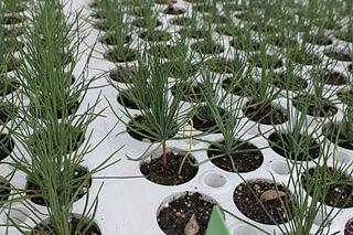 <i>Pinus × sondereggeri</i> nothospecies of plant
