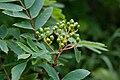 Sorbus matsumurana 03.jpg