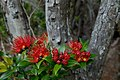 Southern-Rata-Auckland-Islands.jpg
