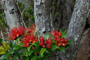 Metrosideros umbellata - Southern rātā growing at its southern limits in the Auckland Islands at 50°S