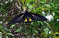 Southern Birdwing - Sohini Vanjari.jpg