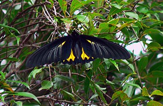 Wildlife of Tamil Nadu - Southern birdwing  the largest butterfly in South India