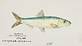 Southern Pacific fishes illustrations by F.E. Clarke 41.jpg