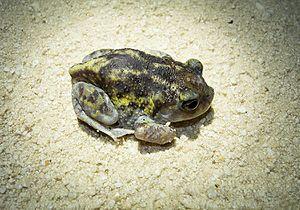 American spadefoot toad - Southern Spadefoot toad, Florida-adult