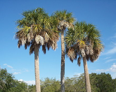 The state tree, Sabal palmetto, flourishes in Florida's overall warm climate. Spalmetto2.JPG