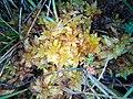 Sphagnum papillosum France Nlle Aquitaine Landes 2017-09-21 01.jpg