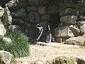 Spheniscus demersus in Burgers' Zoo (Park) (1).JPG