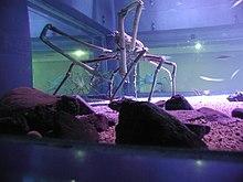 Die Japanische Riesenkrabbe 220px-Spider_crab_at_the_Kaiyukan_in_Osaka%2C_Japan