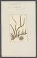 Spongia lacustris - - Print - Iconographia Zoologica - Special Collections University of Amsterdam - UBAINV0274 112 05 0003.tif