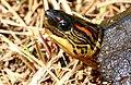Spotted-legged Turtle (Rhinoclemmys punctularia) (38589492064).jpg