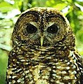 Spotted-owl (3770380708).jpg