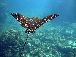 Spotted Eagle Ray (Aetobatus narinari)2.jpg