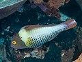 Spotted parrotfish (Cetoscarus ocellatus) (32700492817).jpg