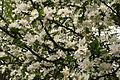 Spring-apple-blooms - West Virginia - ForestWander.jpg