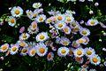 Spring-daisy-fleabane - Virginia - ForestWander.jpg