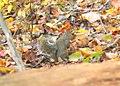 Squirrel at Cuyahoga Valley National Park (10544652233).jpg