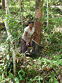 Sri Lanka-Rubber plantation (9).jpg