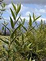 Starr-010419-0057-Olea europaea subsp cuspidata-leaves-Kula-Maui (23905451713).jpg