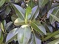 Starr-010425-0104-Ficus macrophylla-leaves-Haiku-Maui (24164785339).jpg